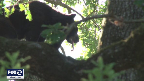 Bear climbs backyard tree in San Anselmo, briefly causes shelter-in-place
