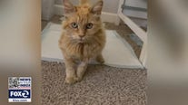 Cat survives coyote attack in San Jose