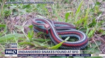 1,300 snakes populate property at San Francisco airport