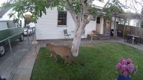Nest camera catches mountain lion exploring yard of Petaluma home