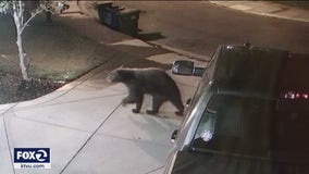 Surveillance video shows bear wandering Oakley neighborhood, police search continues