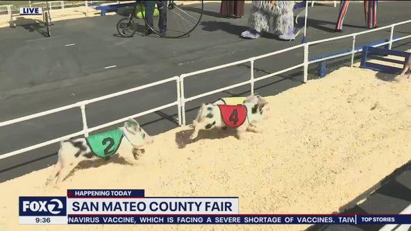 Pig racing at San Mateo County Fair