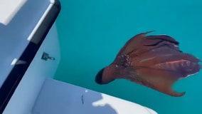 Fish captain gets rare view of blanket octopus near Anna Maria Island