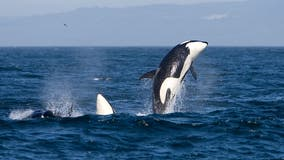 Endangered orcas get new habitat protection from US government