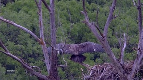 Moments before fledgling bald eagle's 1st flight caught on video
