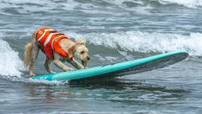 Dogs compete in Southern California surfing contest