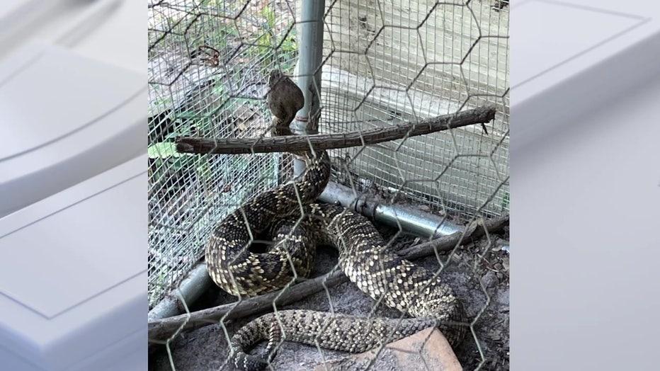 Giant Polk rattlesnake
