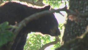 Rise in bear sightings in the North Bay