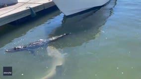 Shark bites floating alligator's foot in wild video
