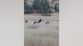 Wildlife officers free elk that was roaming with tire around its neck for more than two years