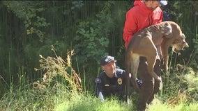 Mountain lion found near Rohnert Park schools to be euthanized