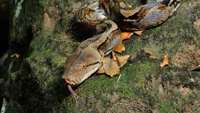 84d25e96-Reticulated python stock photo by Tontan Travel tontantravel-404023.com