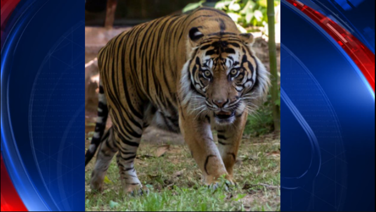 bc4a56f3-Sumatran tiger_Zoo Atlanta_1494439720604-404959.PNG