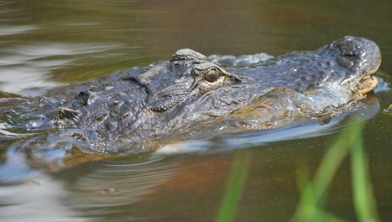 88f1e95e-alligator-head_1486658092543-404023.jpg