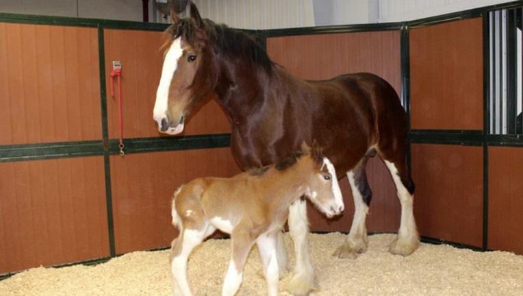 a4e3777c-foal2_1485462137077-401385.jpg
