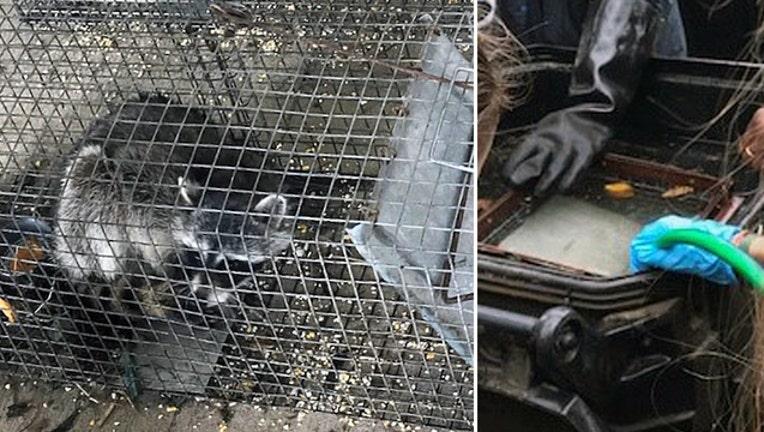0028bf24-raccoon-drownings_1526419342605-402429.jpg