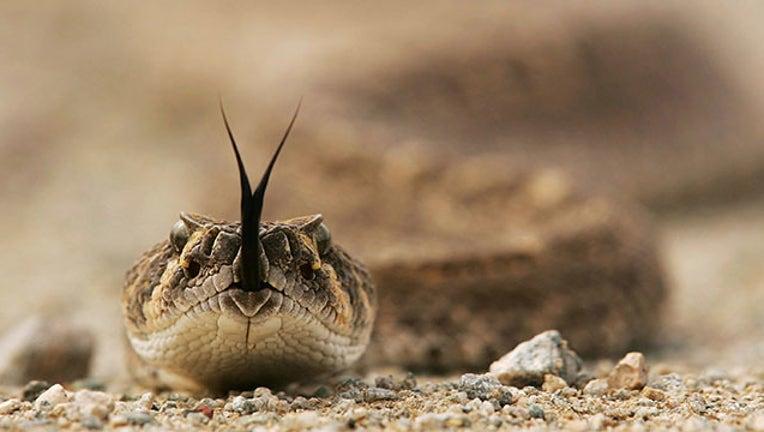 2507fbed-rattlesnake GETTY_1526998580752.jpg-403440.jpg