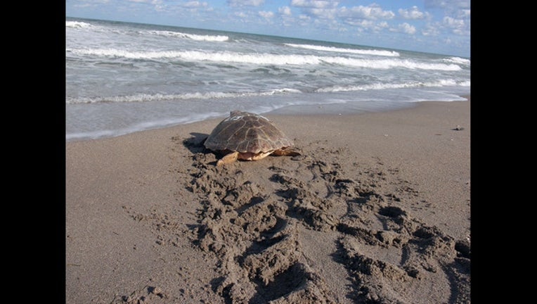 8f823dbc-sea turtle release_1449694002819-401385-401385.jpg