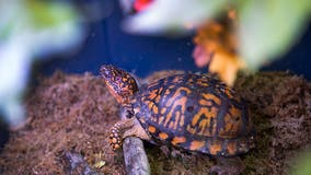 NJ man pleads guilty to smuggling box turtles from Oklahoma