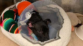 New Jersey dogs, including 3-month-old pit bull, burned with blowtorch, animal rescuers say