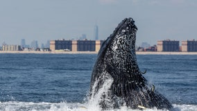 'Tremendous surge' of whales in waters around New York City