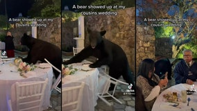 VIDEO: Bear crashes wedding, unfazed guest continues eating dinner
