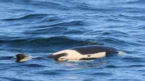 Grieving mother orca carries dead calf for seventh straight day