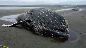 Dead humpback whale that washed ashore is 5th tangled in crab pot gear this month