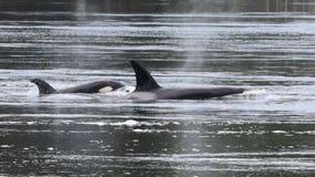 Oldest male in Southern Resident orca KPod presumed dead