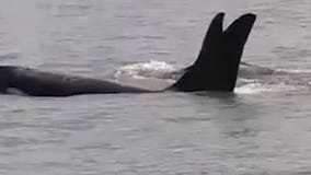 Coast Guard members get close-up view of orcas in Bellingham Bay