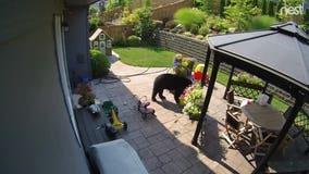 Black bear breaks into Snoqualmie backyard; plays with toys