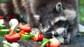 Wildlife officials explain why raccoons in Ohio are acting like 'zombies'