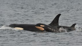 Officials urge boaters to steer clear of 3 pregnant Orcas