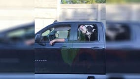 Driver spots cow – in back seat of pickup – enjoying ride down Ohio highway