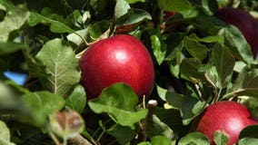 7 apple varieties previously thought 'extinct' in eastern Washington have been located