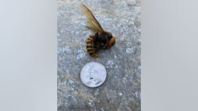 Dead Asian Giant Hornet found in Custer is the first confirmed sighting this year