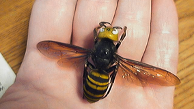 Washington state begins trapping for Asian giant hornets