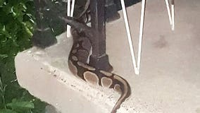 Wandering python has Memphis neighborhood on edge