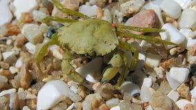 Invasive green crabs spreading along Washington coast, officials say