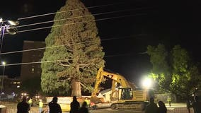 Idaho's largest sequoia tree finds new home (video)