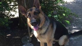 Missing: search and rescue dog, Max, last seen in Tahuya