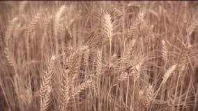 Severe drought devastates Washington state's wheat crop