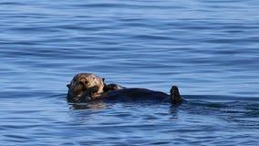 Rare endangered mammal spotted in Strait of Juan de Fuca