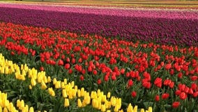 Skagit County businesses get boost as many flock to the tulip festival in the nice weather