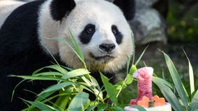 Bring on the cake: France's baby panda has his 1st birthday