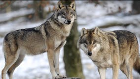 State commission rejects petition to limit killing of wolves