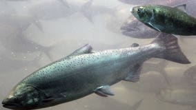 Time running out for Northwest salmon species, report says
