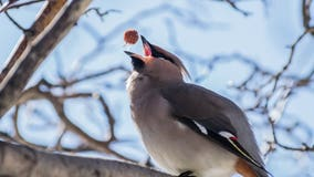 Drunk, confused birds in Minnesota town prompt police statement