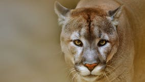 Western Oregon town troubled by growing cougar population