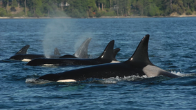 Grandmother orcas are critical to the survival of their grandkids